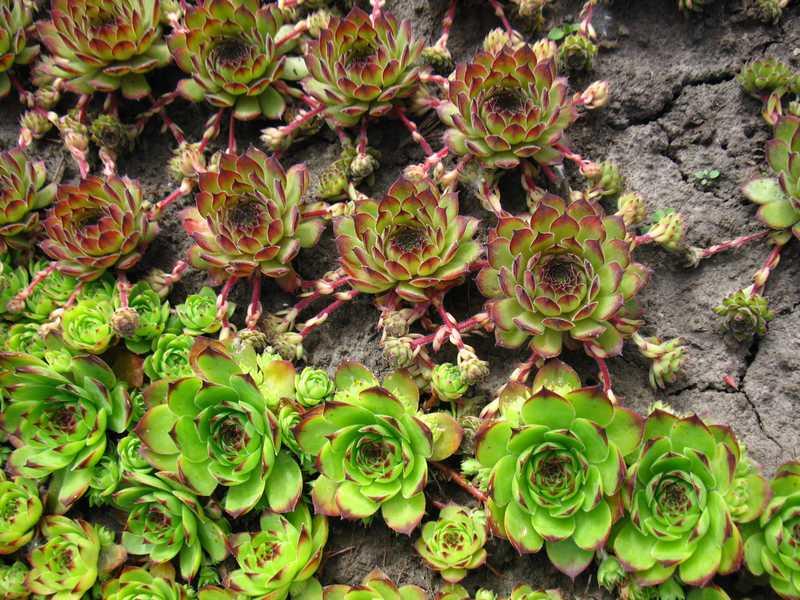 Цветы неприхотливые для кладбища