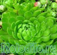 МОЛОДИЛО - фото
