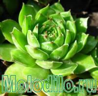фото молодило - садовый цветок