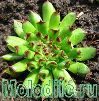 молодило - фото цветов трубчатого молодило