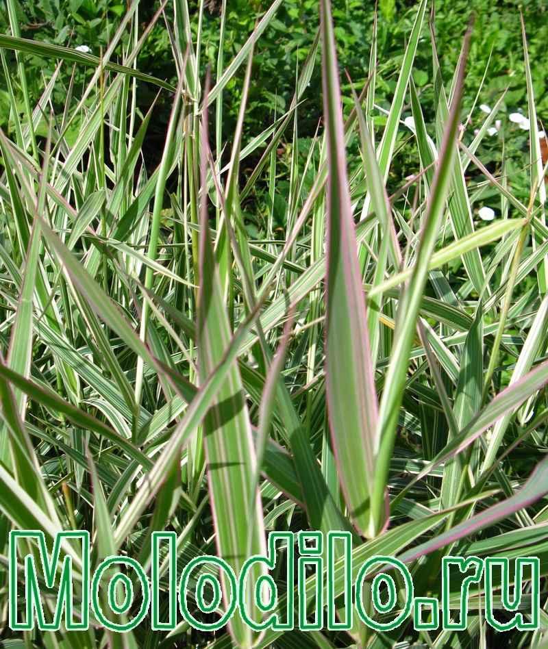 трава для удочек